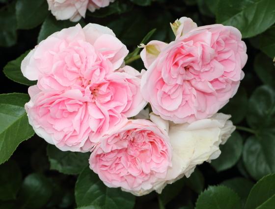 カップ咲きからロゼット咲きへ変化する