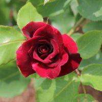 オクラホマは赤色の巨大輪品種