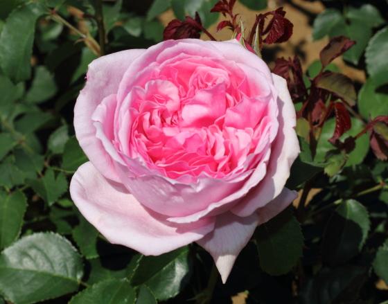 ローズピンク色のロゼット咲き
