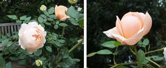 アンブリッジローズは上品な花色のバラ