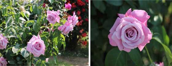 端正な花形のバラ