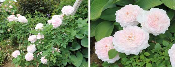 ミスアリスはシュラブ系統のバラ