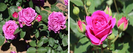 オールドポートはローズピンク色のバラ
