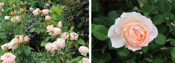 タモラはピンク色系のバラ