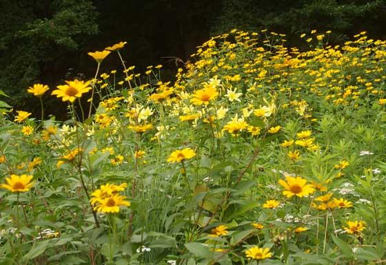 ルドベキアは夏から秋まで咲く花