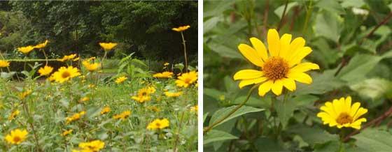 ルドベキアはキク科の植物