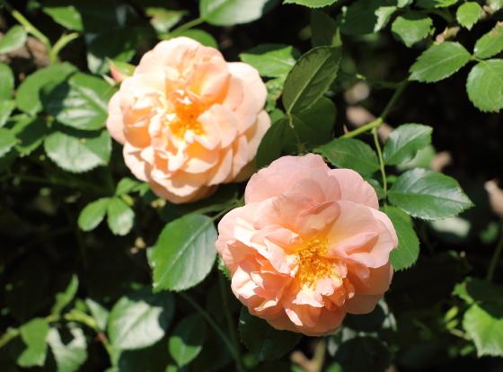 フロリバンダ系統の四季咲き性