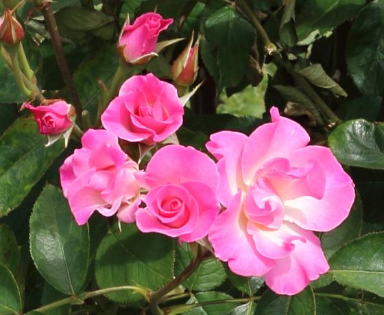 さらさはフロリバンダ系統のバラ