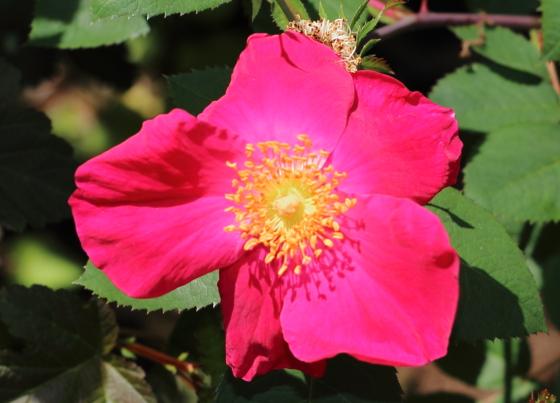 シャルラッハグルートは半八重咲きのバラ