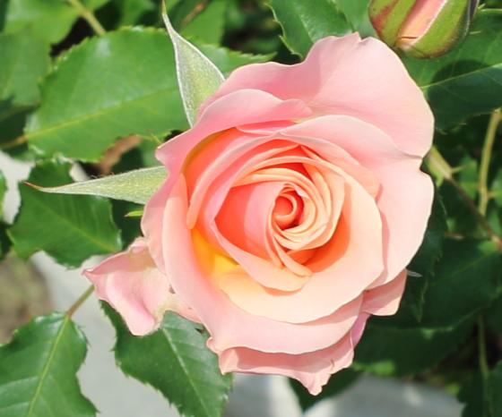 しののめは中輪サイズのバラ