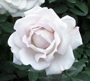 シルバーシャドウズは繊細な色合いの花