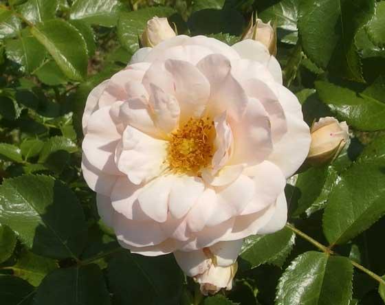 シリウスはつるバラです