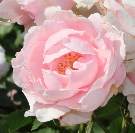 早春は桜のような花色のバラ