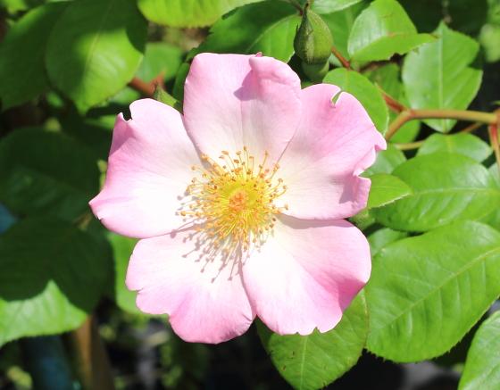 シュパリースホープは淡いピンク色の一重咲き