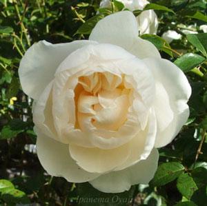 サマーメモリーズは白色のバラ