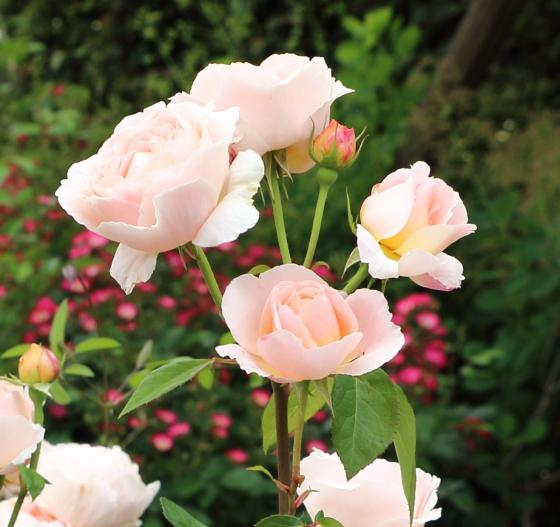 タモラはロゼット咲きになる