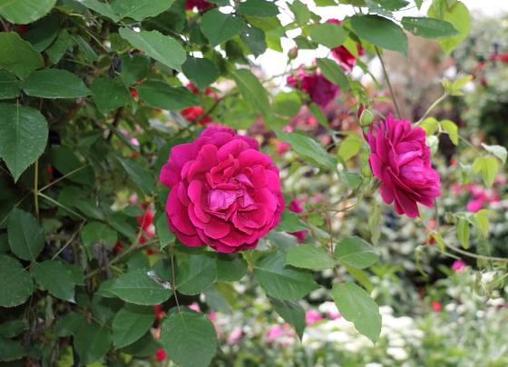 アンダーザローズはクリムゾンレッド色のバラ
