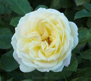 バニラボニカは丸弁平咲きの黄色バラ