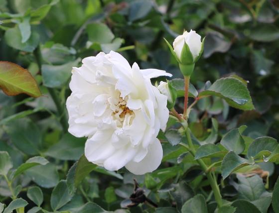 白色のロゼット咲きです