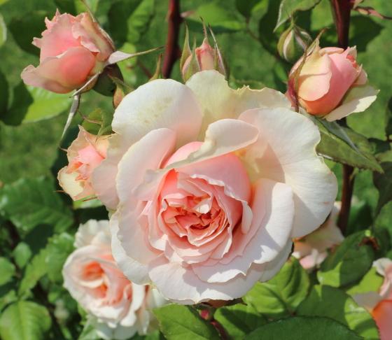 サーモンピンク色のロゼット咲き