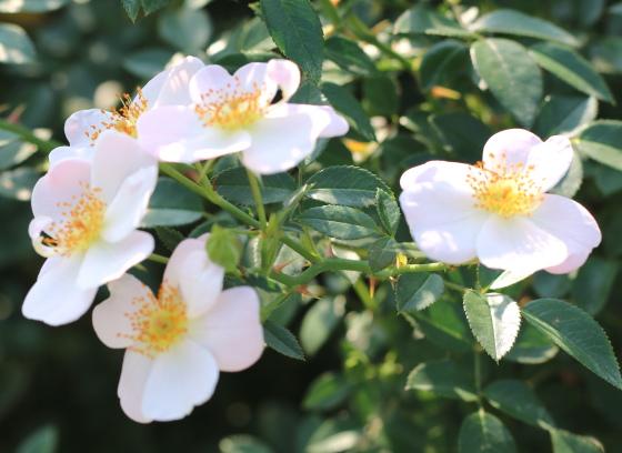 雪っ子は白色のバラ