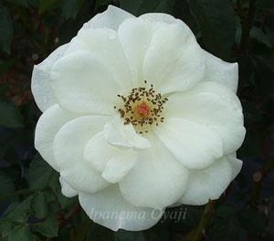 アキトは白色のバラ