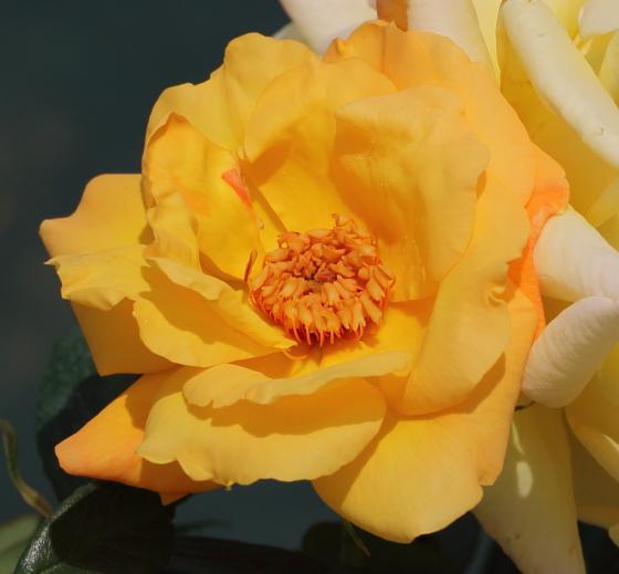 フロリバンダ系の黄色いバラ