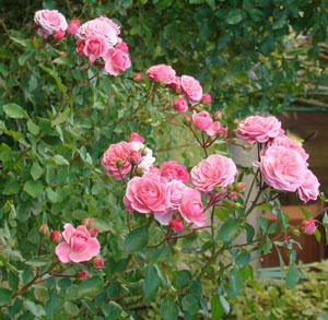 バイランドは多花性のバラ