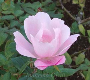 やや薄めのローズピンク色のバラ