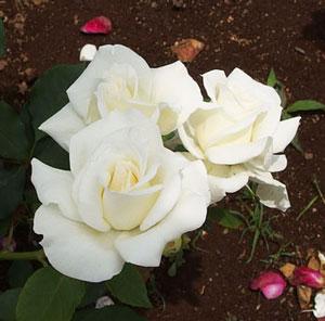 フロリバンダ系統の白色バラ
