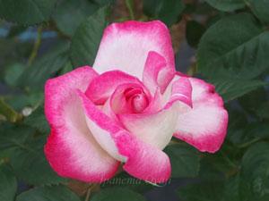 ハイブリッドティー系統でピンク色系のバラ
