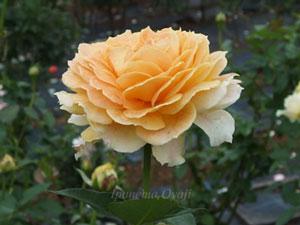 アプリコット色のバラです