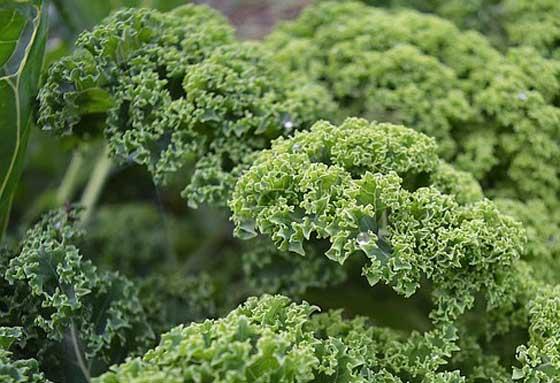 エンダイブは野菜です