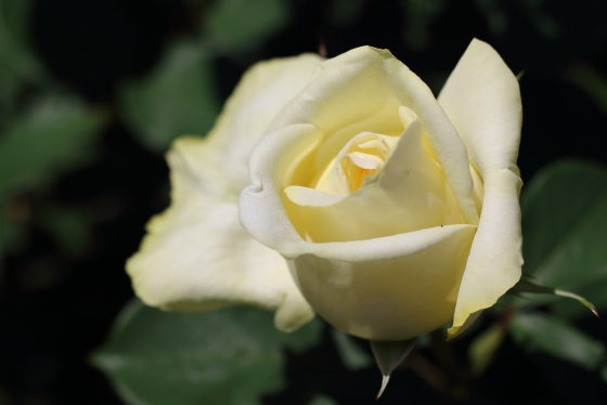 エリナは黄色のバラ
