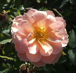 笑みはオレンジ色のバラ