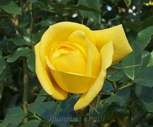 黄色いフロリバンダ系統のバラ