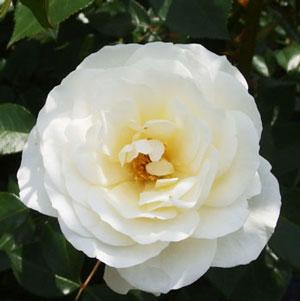 白色で強健な性質のバラ