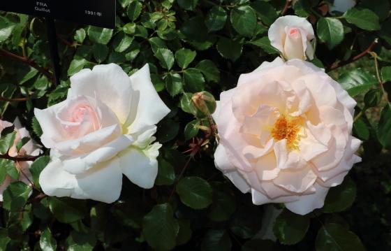 サーモンがかった淡い桃色のバラ