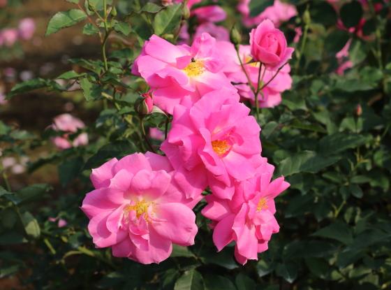 フロリックは半八重咲きのバラです