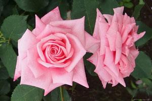 フロリバンダ系統のピンク色のバラ