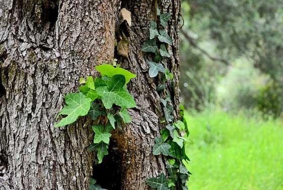 グレコマは観葉植物でもあります