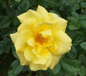 剣弁高芯咲きの黄色のバラ