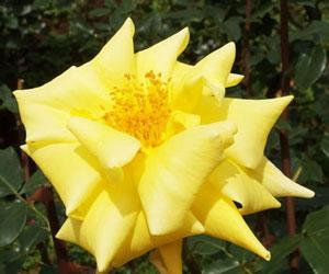 ゴールデンセプターは黄色いバラ