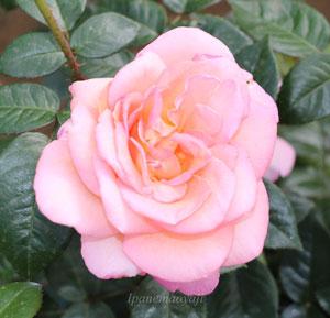 ピンク系の複色のバラ