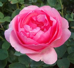 ヒストリーはロゼット咲きの花形