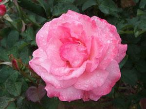 芳純はローズピンク色のバラ