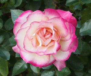 ほのかはフロリバンダ系統のバラ