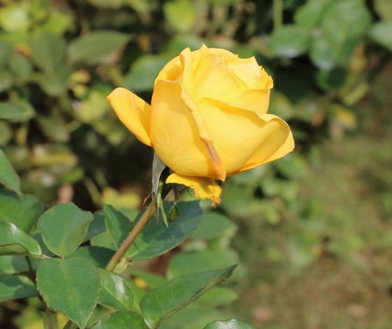 かぐや姫は黄色のバラです