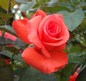 レディローズはハイブリッドティー系統のバラ