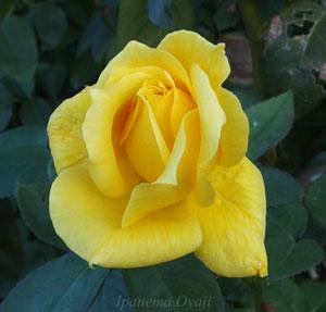 ランドラは黄色いバラ